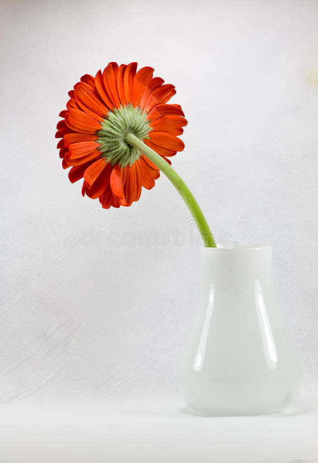 Red gerbera royalty free stock photography