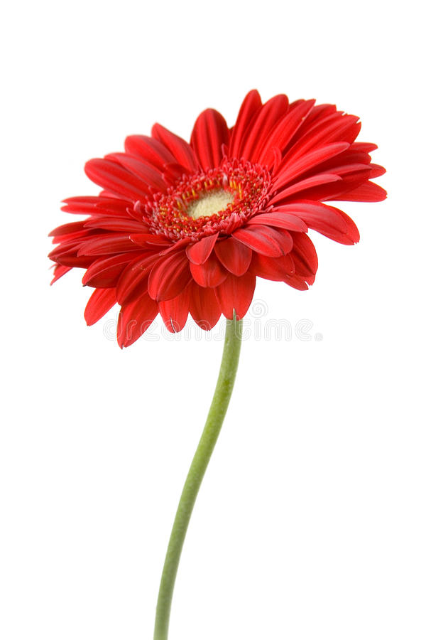 Free Red Gerbera Stock Images - 23392284