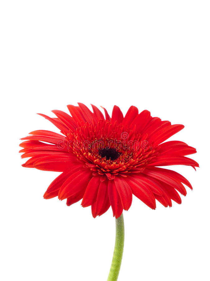 Red gerbera against white royalty free stock photo