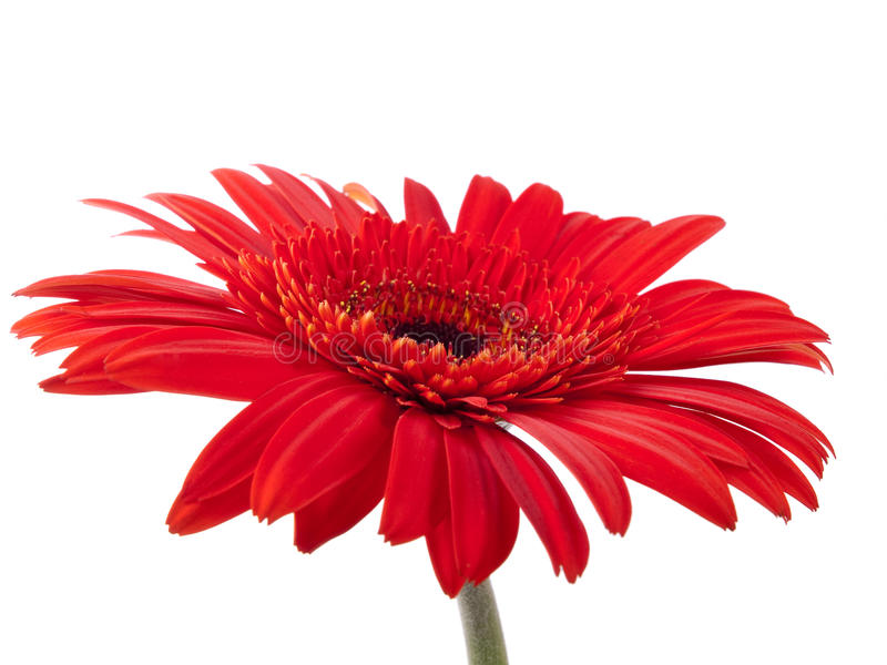 Red gerbera against white stock images
