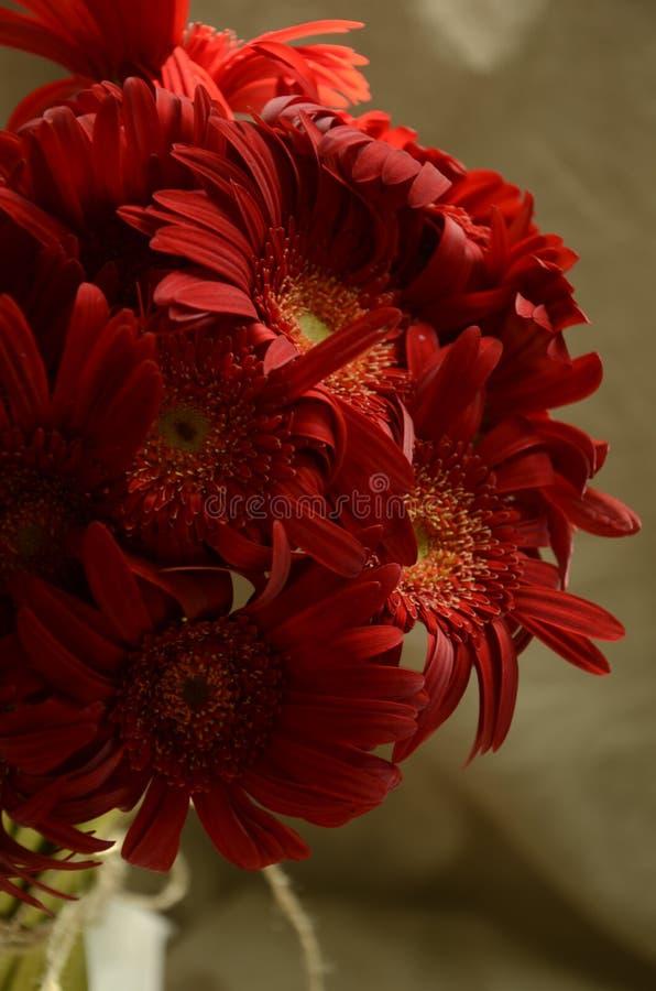 非洲菊  Red gerbera chrysanthemum. Chrysanthemum Like in the natural light, silently watching, as long as quiet down, every object is very beautiful royalty free stock photography