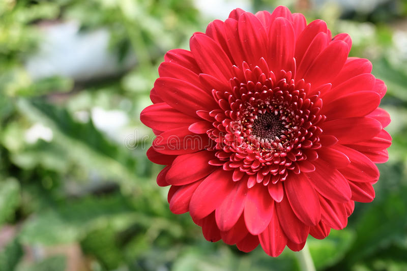 Red Gerbera Daisy on the green background stock photography