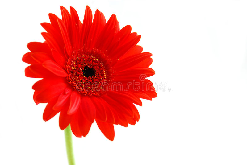 Red gerbera flower royalty free stock images