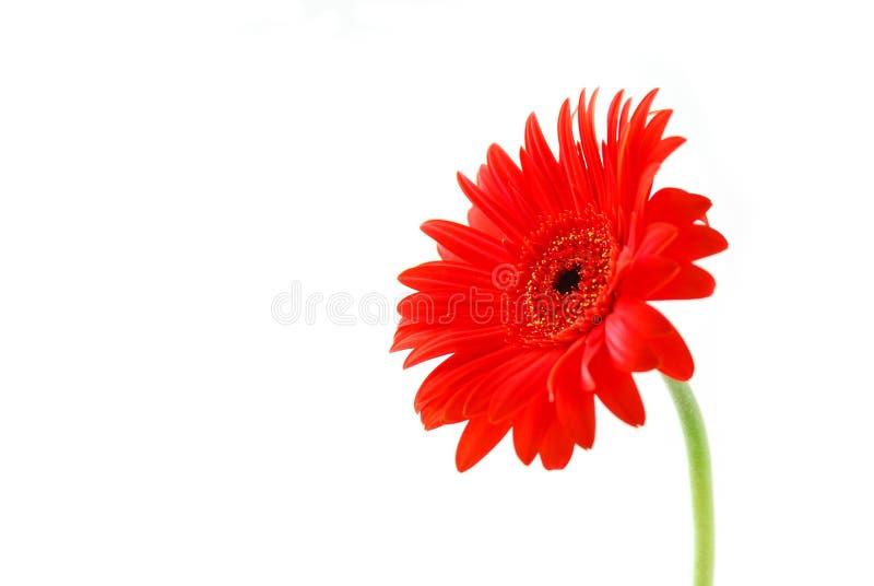 Red gerbera flower stock image