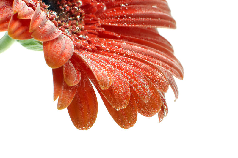 Download Red Gerbera Flower With Bubbles Closup Stock Image - Image: 1847435