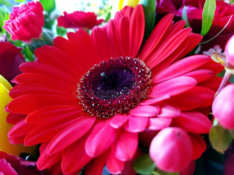 Red gerbera flower closeup view background royalty free stock images
