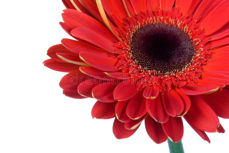 Red gerbera flower isolated royalty free stock images