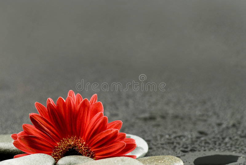 Red gerbera flower still life royalty free stock photography