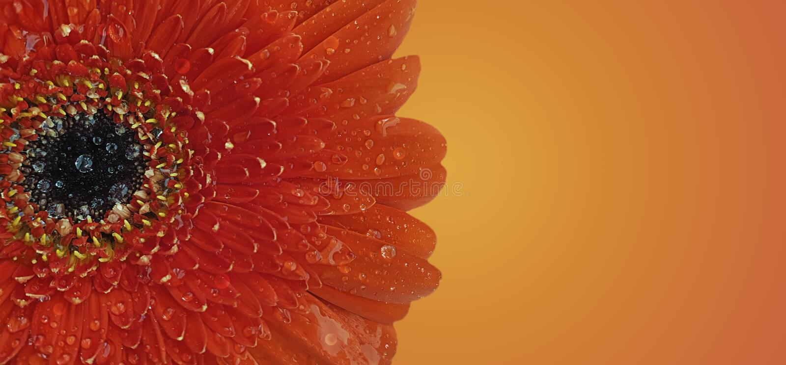 Red gerbera flower wet closeup stock images