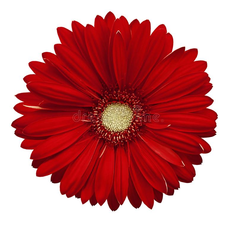 Red gerbera flower, white isolated background with clipping path. Closeup. no shadows. For design. stock image