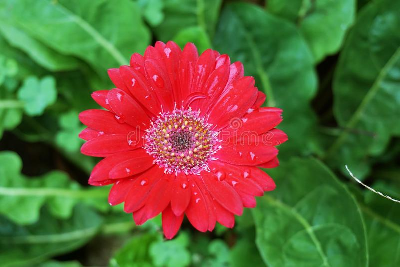 Red gerbera jamesonii flower in nature garden stock photo