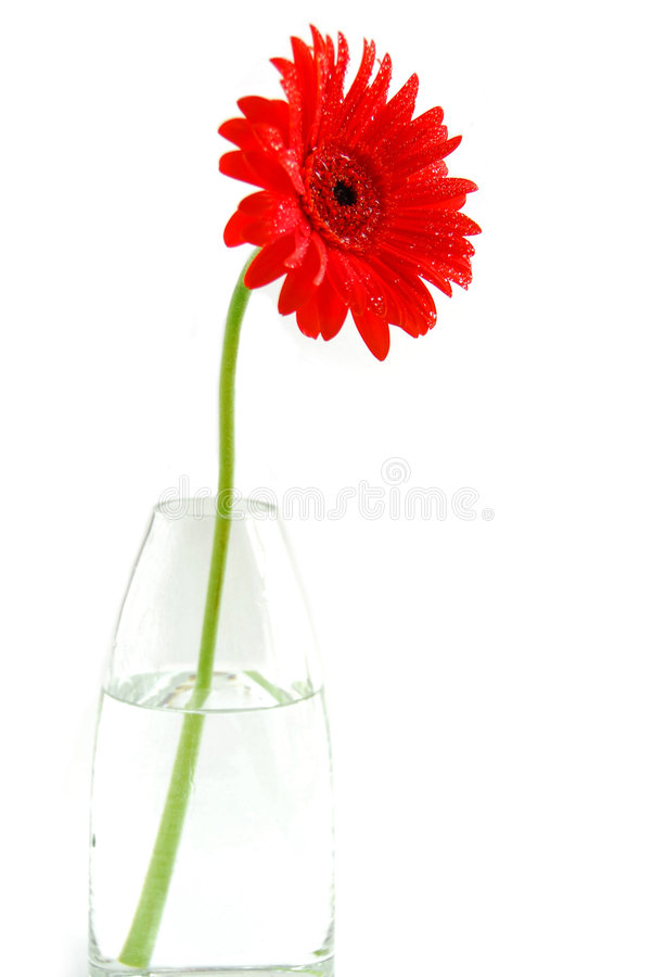 Red gerbera in a vase royalty free stock photography
