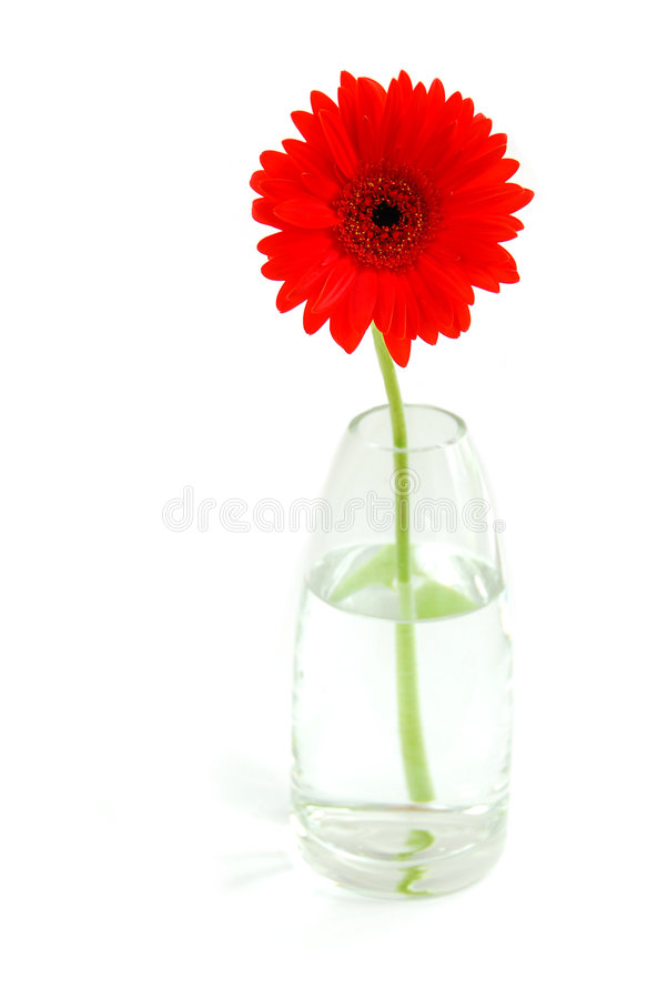 Red gerbera in a vase stock photo