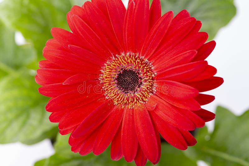 Red gerbera on a white background stock photo