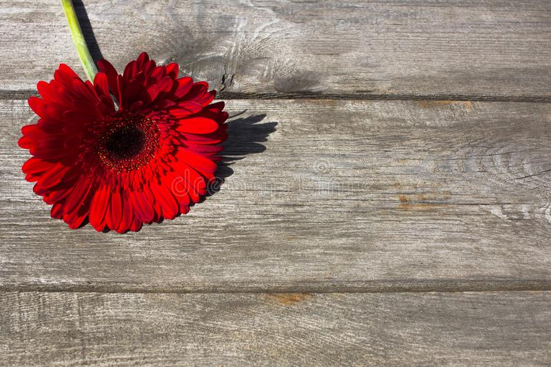 Red gerbera on a wooden background for postcard royalty free stock photo
