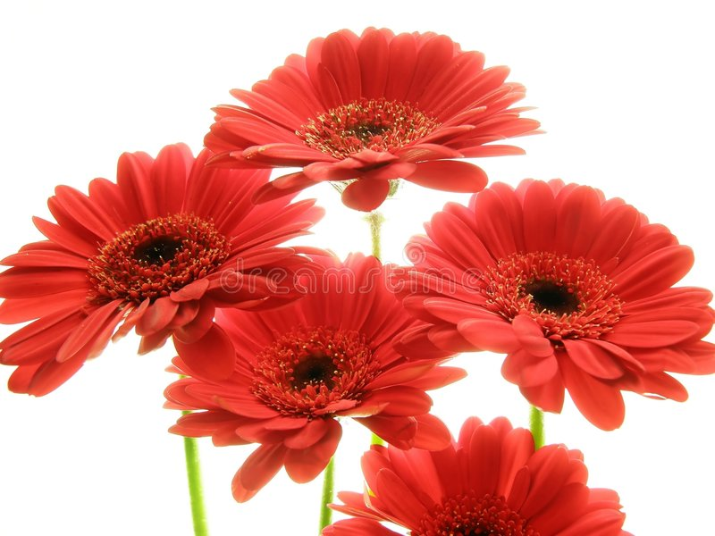 Red gerberas stock images