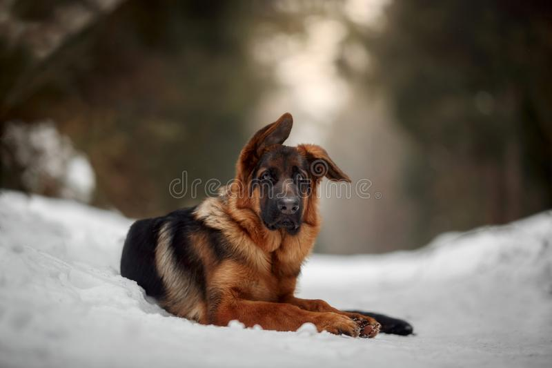 Red german shepard puppy winter portrait. Red cute german shepard 4-th months puppy portrait at snow at the winter stock photography
