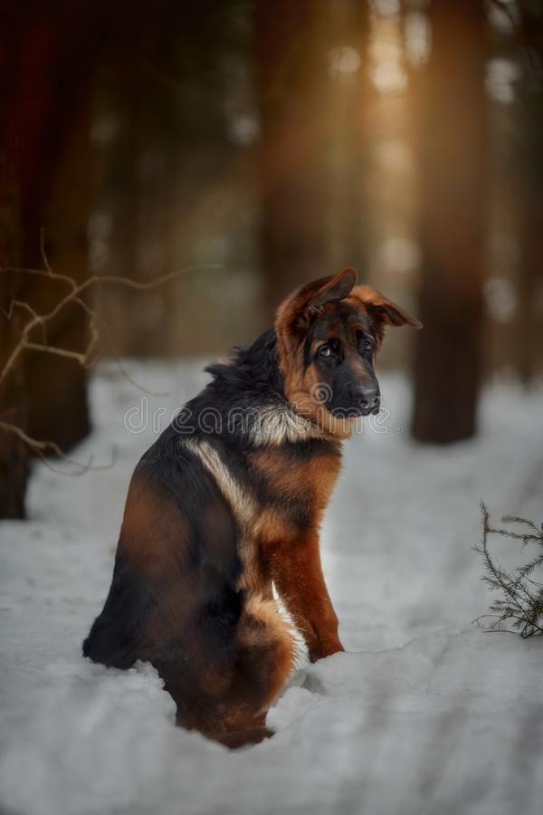 Red german shepard puppy winter portrait. Red cute german shepard 4-th months puppy portrait at snow at the winter stock images