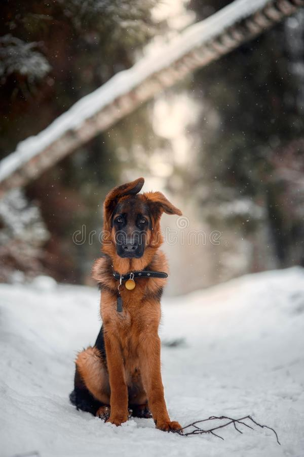 Red german shepard puppy winter portrait. Red cute german shepard 4-th months puppy portrait at snow at the winter royalty free stock photography