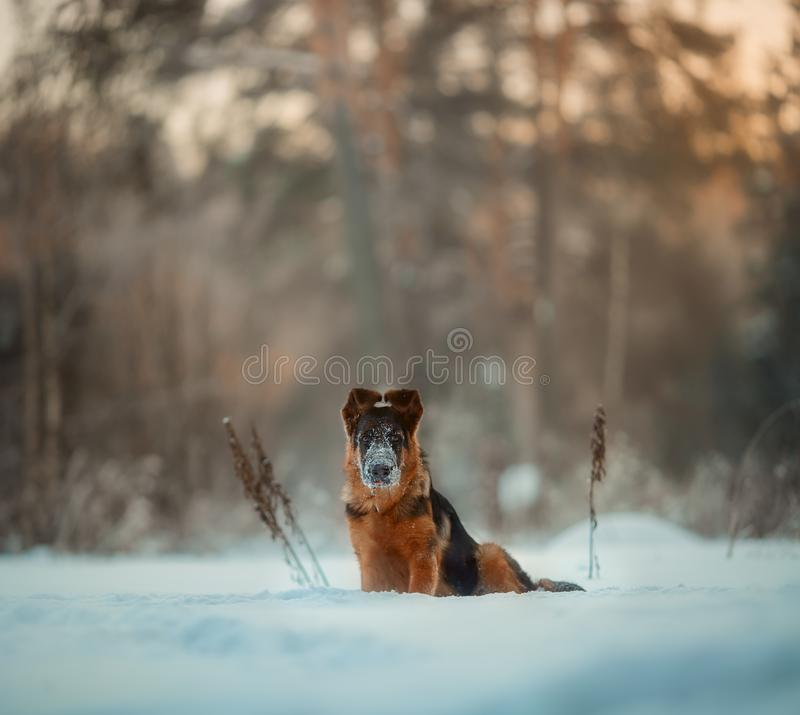 Red german shepard puppy winter portrait. Red cute german shepard 4-th months puppy portrait at snow at the winter royalty free stock images