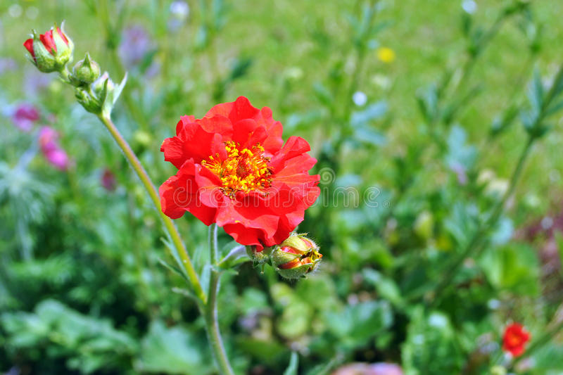 Red geum flower stock image image of plant geum flower 54125769 download red geum flower stock image image of plant geum flower 54125769 mightylinksfo