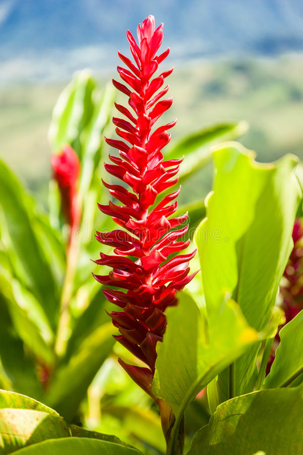 Download Red Ginger stock image. Image of petals, nature, ornamental - 25263115