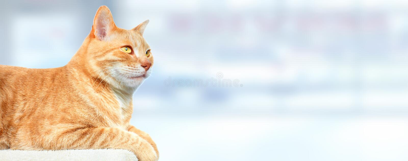 Red ginger cat. stock image