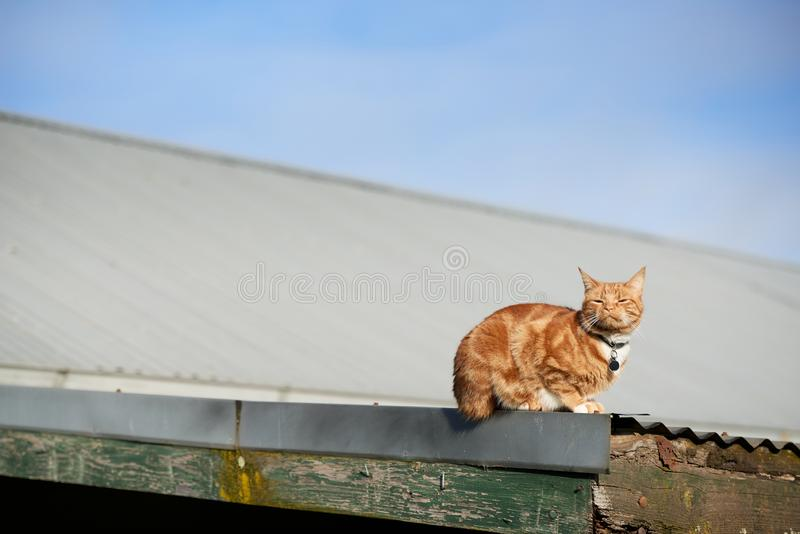 Red ginger cat laying on an iron roof with its face directed straight at the sun. A domestic suburban ginger red cat relaxing peacefully and enjoying the warmth stock image