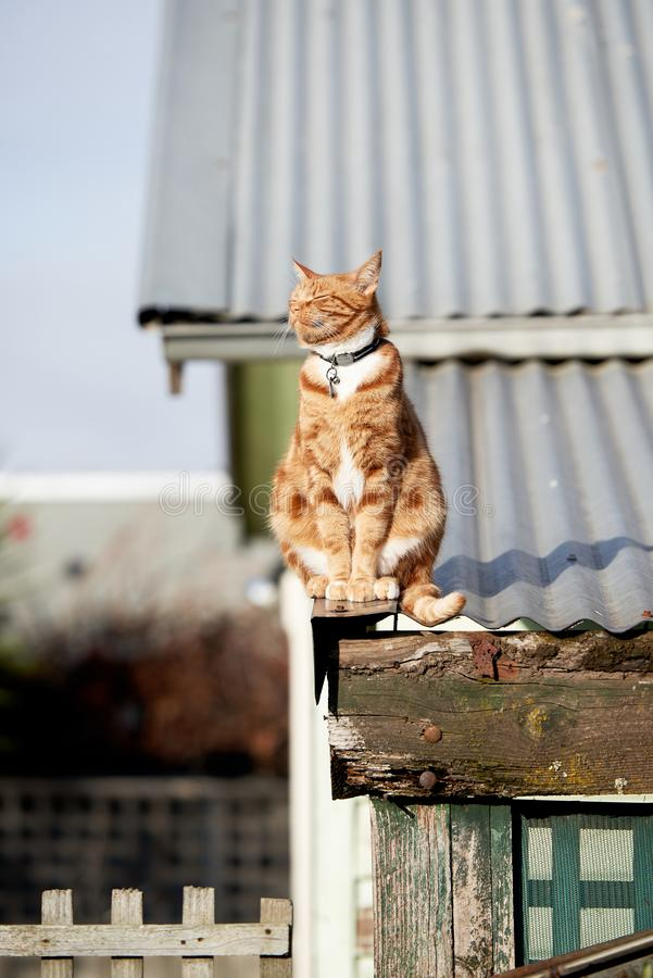 Red ginger cat sitting on an iron roof with its face directed straight at the sun. A domestic suburban ginger red cat relaxing peacefully and enjoying the royalty free stock photo