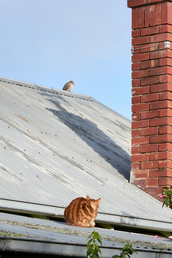 Red Ginger cat on a tin roof hunting a pigeon bird. royalty free stock photos