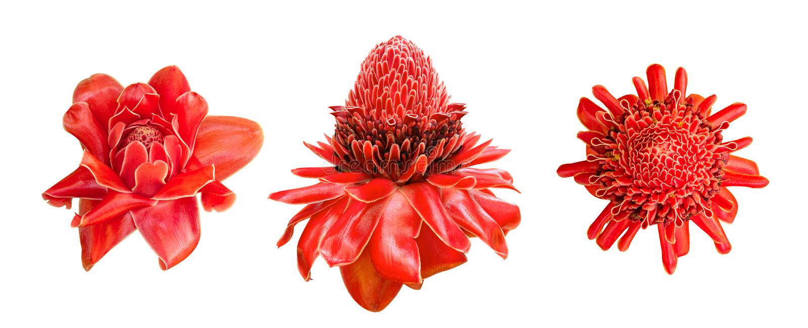 Red ginger lily flower Etlingera elatior tropical plant set isolated on white background, path royalty free stock photography