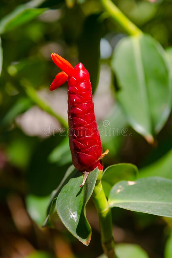 Red ginger plant in Asia royalty free stock photography