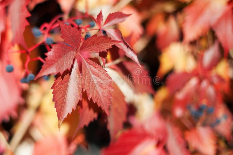 Red girlish grape leaves on blurred foliage background close up, autumn orange leaves pattern macro, warm fall sunny day nature royalty free stock photo