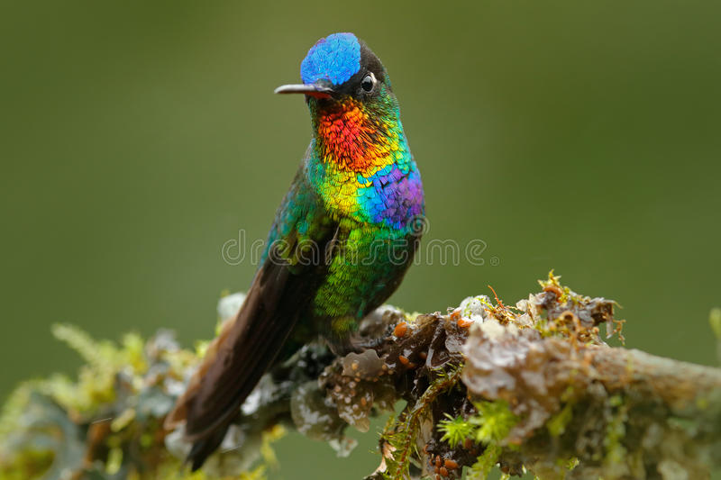 Red glossy shiny bird. Fiery-throated Hummingbird, Panterpe insignis, colour bird sitting on larch branch. Red shiny hummingbird i. N forest royalty free stock photo