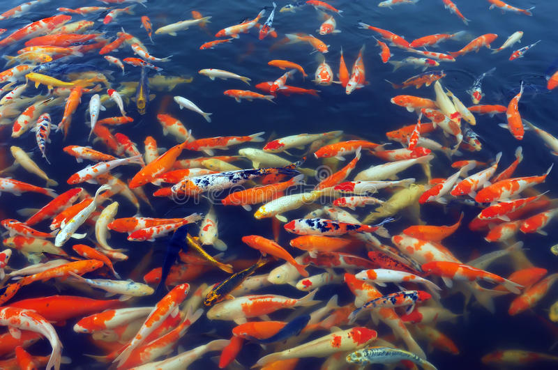 Download Red and gold fishes stock image. Image of japan, gold - 14860073