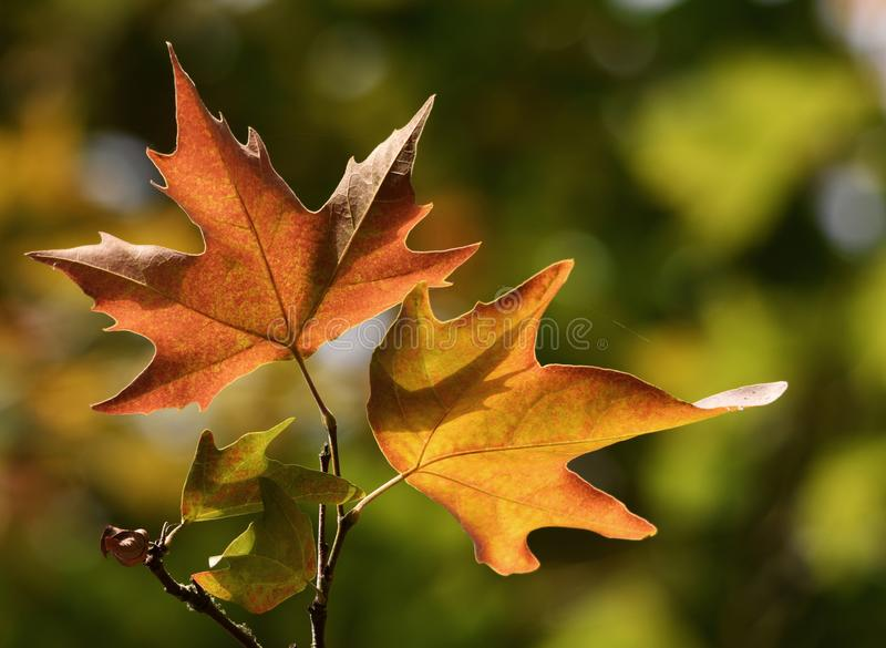 Autumn maple / sycamore leaves about to fall royalty free stock photo