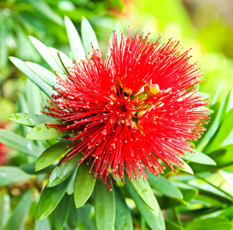 Free Red Golden Penda Flower Royalty Free Stock Photography - 26412267
