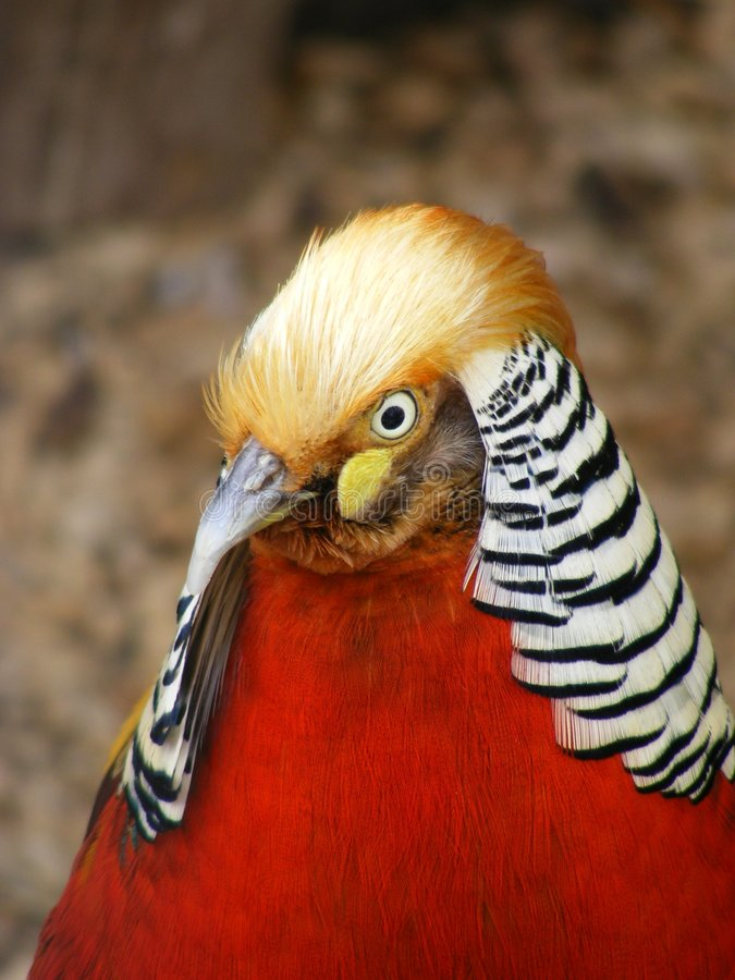 Red Golden Pheasant stock image