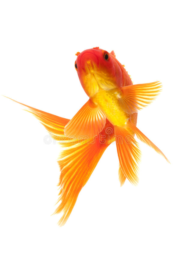 Download Red Goldfish stock image. Image of colorful, yellow, water - 28982541