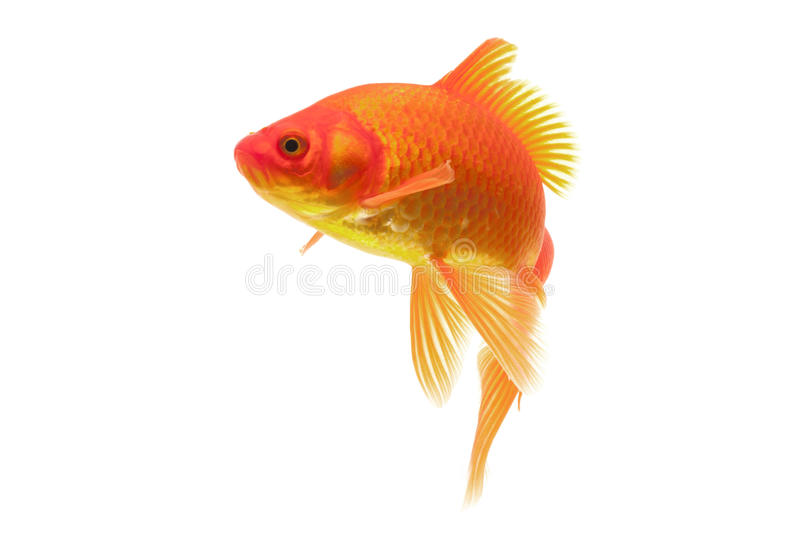 Red Goldfish Royalty Free Stock Photo
