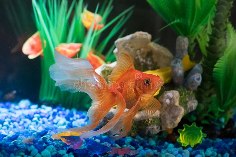 Red goldfish pet in home tank stock image image of for Aquarium decoration for goldfish