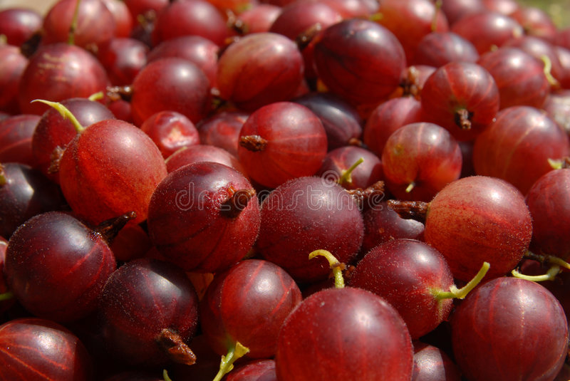 Red gooseberries. A lot of bright red gooseberries stock photo
