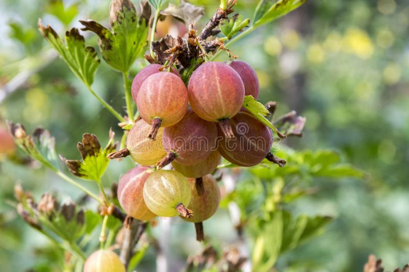 Red gooseberries berries ripening on the shrub, healthy, raw, sour and tasty fruits. Red gooseberries ripening on the shrub, healthy, raw, sour and tasty fruits royalty free stock image