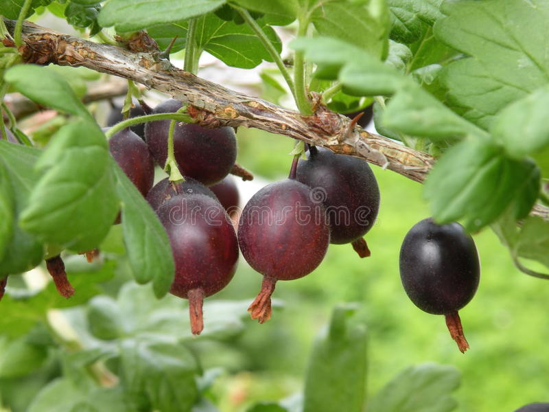 Red gooseberry. On bush branches royalty free stock images