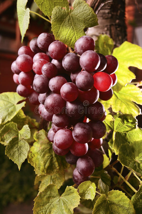 Red grape royalty free stock photo