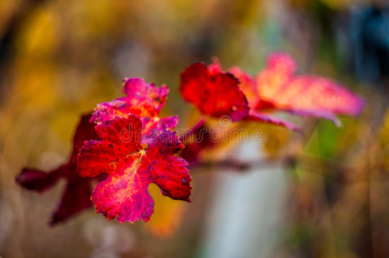Download Red Grape Leaf With Background Stock Photo - Image of flower, plant: 63954008