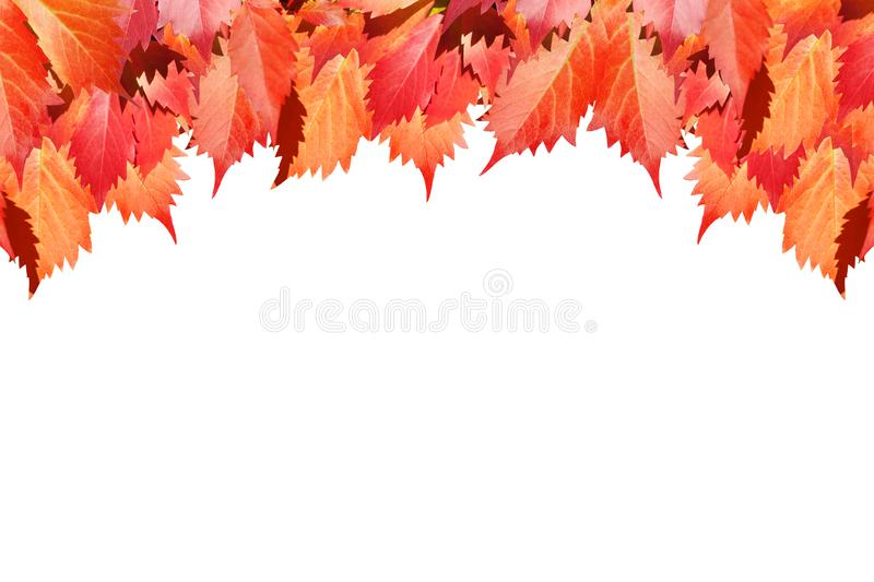 Red grape leaves on white background isolated close up, autumn golden foliage decorative border, fall season maple branches frame stock image