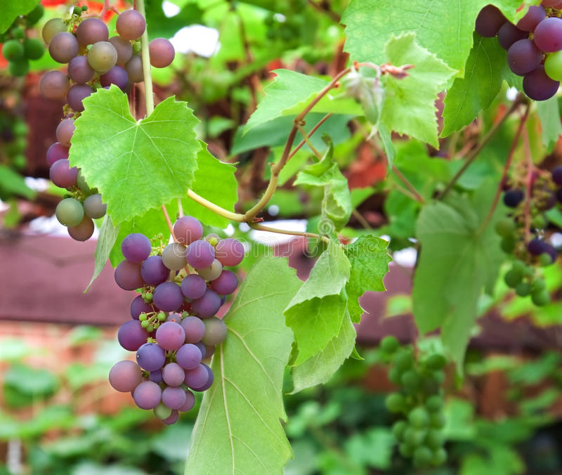 Download Red grapes stock image. Image of grapes, bunch, green - 28225189