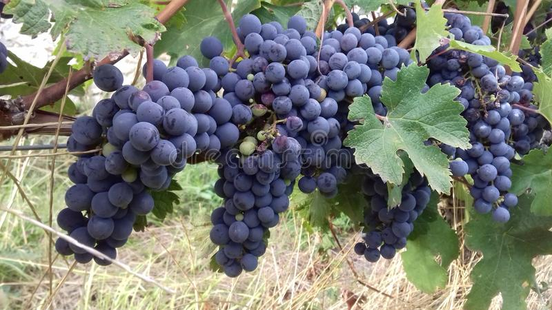 Red grapes. Bunches of red grapes hanging on a vine stock photo