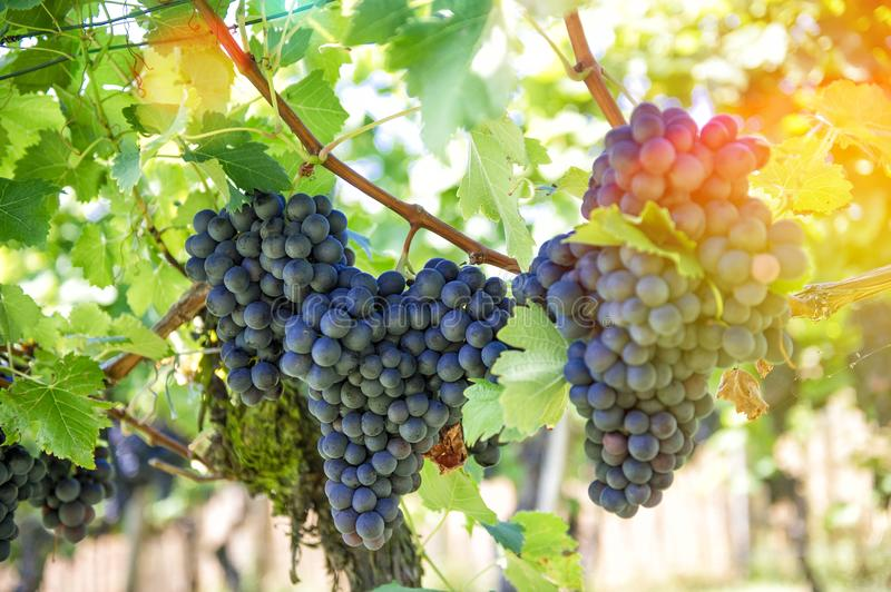 Red grapes green leaves Autumn landscape royalty free stock images